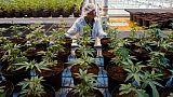 Une plantation de cannabis, le 12 octobre 2018 à Lincoln, au Canada