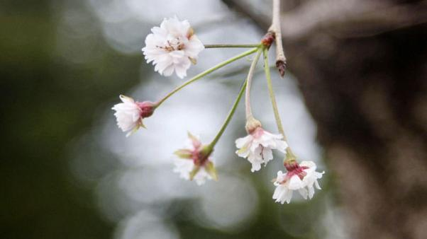 Tickled pink - Typhoons trick Japan blossoms into blooming six months early