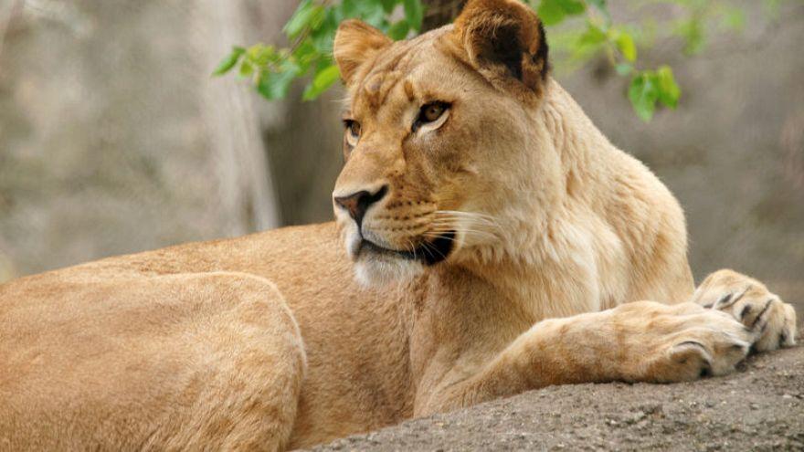 لبؤة تقتل أبا أشبالها الثلاثة في حديقة حيوان أمريكية