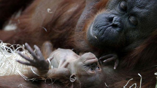 Paris zoo says hello to Java, its newborn baby orangutan