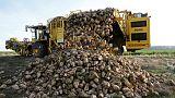EU farmers battle parched soil to harvest smaller sugar beet crop