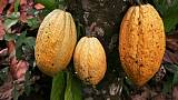 Ecuadorean discovery pushes back the origins of chocolate