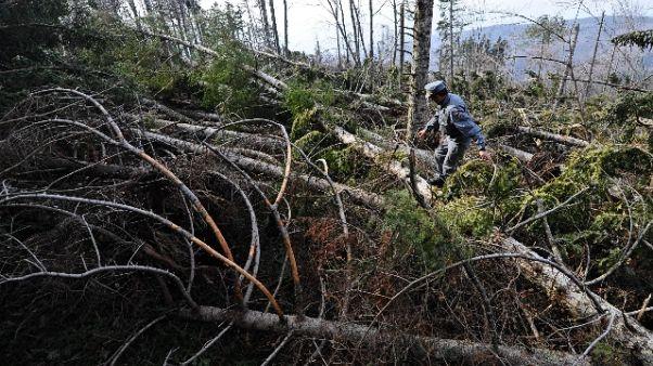 Danni ad altra foresta legno Stradivari