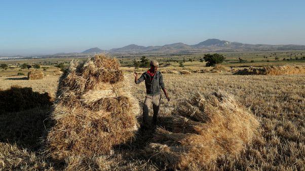 مؤسسة الحبوب السعودية تشتري 1.02 مليون طن من علف الشعير