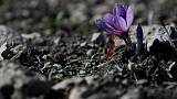 Greece's 'red gold' - saffron trade blooms in wilted economy