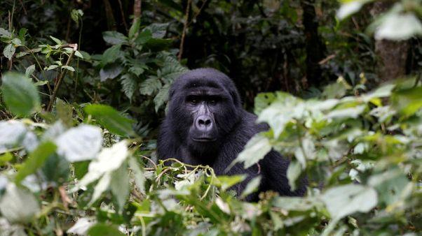 Mountain gorillas off 'critically endangered' list in rare recovery