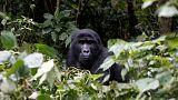 رفع الغوريلا الجبلية من قائمة الأنواع المهددة بالانقراض