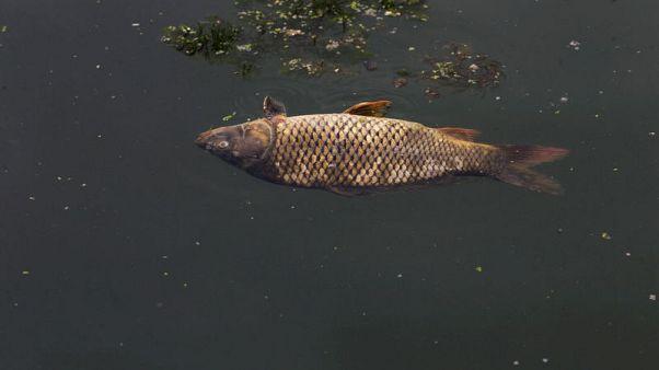 منظمة: المعادن الثقيلة والأمونيا سبب نفوق آلاف الأسماك بنهر الفرات بالعراق
