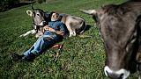 La vache à cornes, emblème suisse devenu sujet de référendum