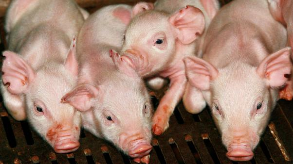 China cracks down on African swine fever reporting