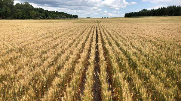 مصر تشتري 240 ألف طن من القمح في مناقصة دولية