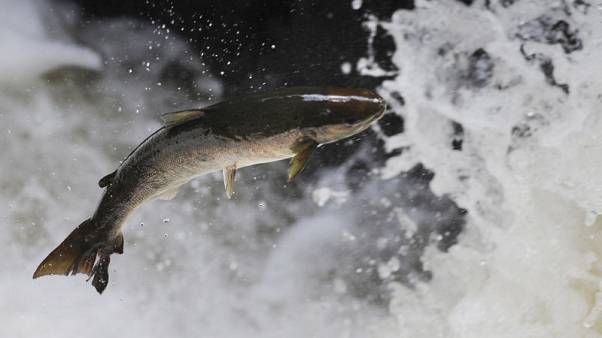 """Scottish salmon producers say May's Brexit plans pose """"serious questions"""""""