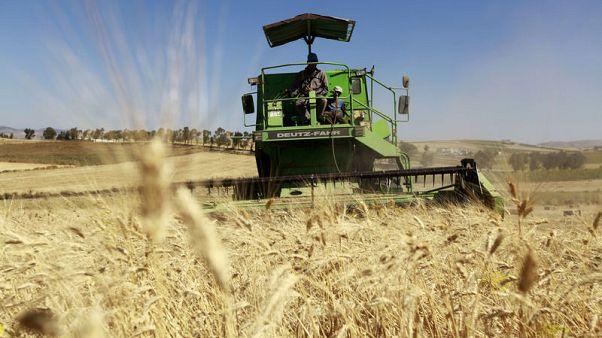 تونس تشتري 100 ألف طن من القمح اللين و75 ألف طن شعيرا في مناقصة دولية