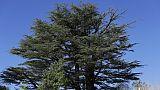 Un cèdre dans la forêt de Tannourine, le 30 octobre 2018 au Liban
