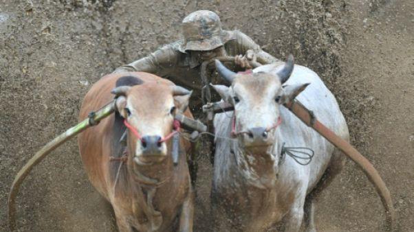 Le contre-la-montre des taureaux indonésiens dans les rizières de Sumatra