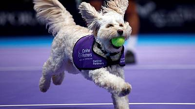 Fetch! Canines play role of 'ball dogs' at London tennis event