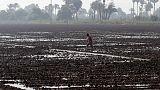 مصر تشتري 47.5 ألف طن من الأرز الأبيض المضروب في مناقصة