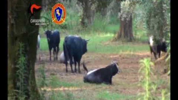 """Prefettura Reggio contro """"vacche sacre"""""""