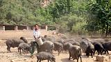 الصين تعلن عن تفش جديد لحمى الخنازير الأفريقية في جنوب البلاد