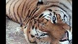 Salta recinto tigri e viene aggredito