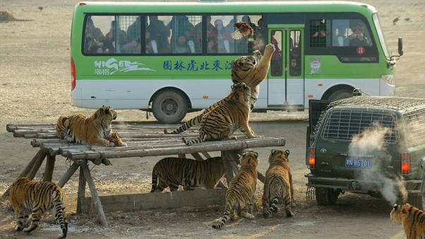 Profit-hungry tiger breeders behind push to lift China's trading ban