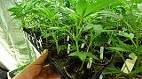 Cannabis:Mantero (M5S),ok uso ricreativo
