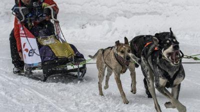 """Courses de chiens de traîneaux: la """"Grande Odyssée"""" s'ouvre dans un format remanié"""