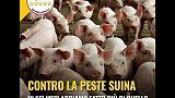 Peste suina: polemica Grillo-Pigliaru