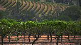 Sparkling Australian wine exports lose their fizz as Chinese economy slows
