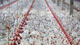 السعودية تقلص قائمة مصدري الدجاج البرازيليين المرخصين