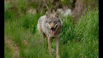 Pericolo lupo in tre aree Trentino