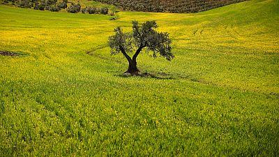 EU to challenge U.S. duties on Spanish olives