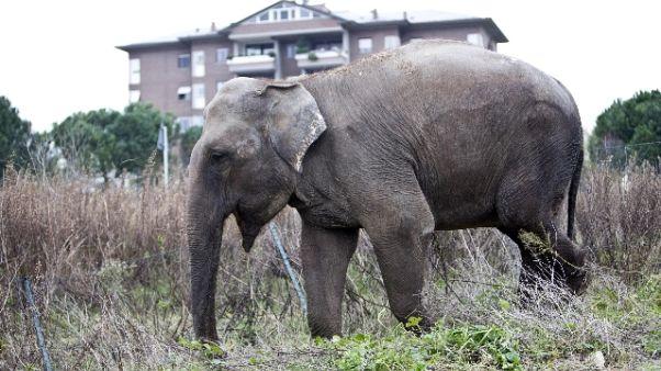 Elefante in strada nel Napoletano