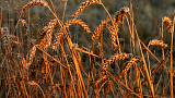 مؤسسة فرنسية ترفع توقعاتها لصادرات القمح خارج الاتحاد الأوروبي بعد عودة مصر