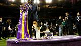 King the wire fox terrier wins crown at  Westminster dog show in New York