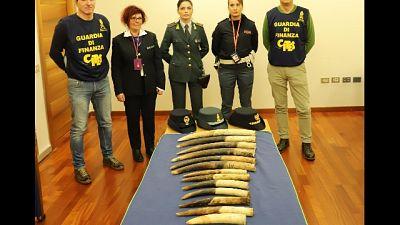 Sequestrate 13 zanne elefante a Genova