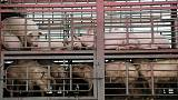 Pigs fly - China pork producers surge as swine disease cuts supply
