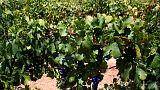 Wine and shine - Scorching summer wilts Australia's grape crop