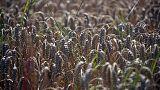السعودية تشتري 625 ألف طن من القمح في مناقصة