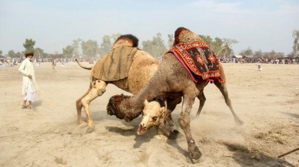 Deux chameaux se battent le 10 février 2019 lors d'un festival au Pakistan