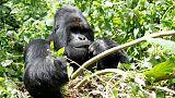 Gunmen kill ranger in Congo's Virunga park after reopening