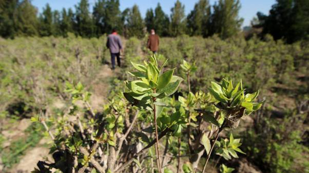 Water woes hit henna plant farms in Iraq's Fao peninsula