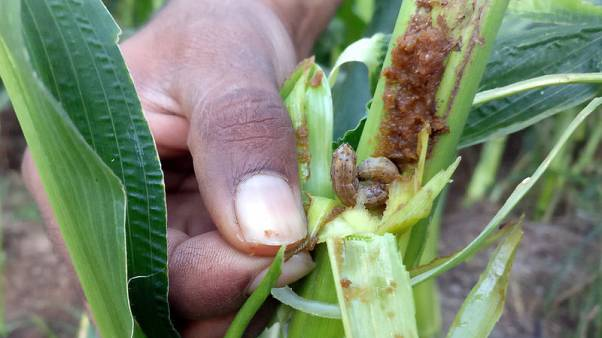 Crop-damaging armyworms raise growing sense of alarm in Asia, FAO says
