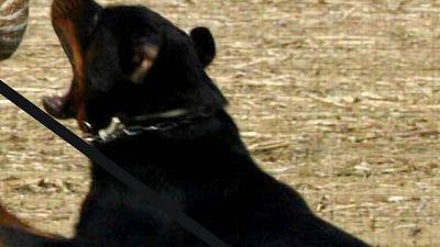 Morta 85enne azzannata da rottweiler