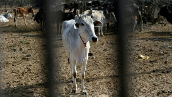 Dans l'Inde de Modi, la prolifération de vaches errantes mais sacrées