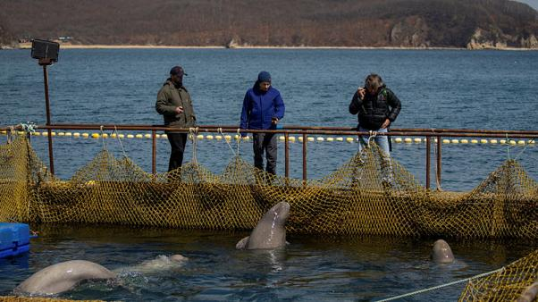 Russia signs agreement to free captive whales after outcry
