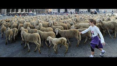 A Padova pecore in piazza per tosatura