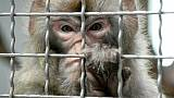 Un macaque rhésus dans sa cage.