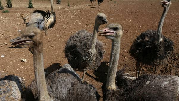 Ostrich, rodent on the menu as Cuba seeks food miracle