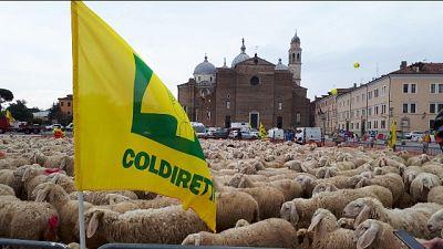 Dazi: Coldiretti, mille pecore a Padova